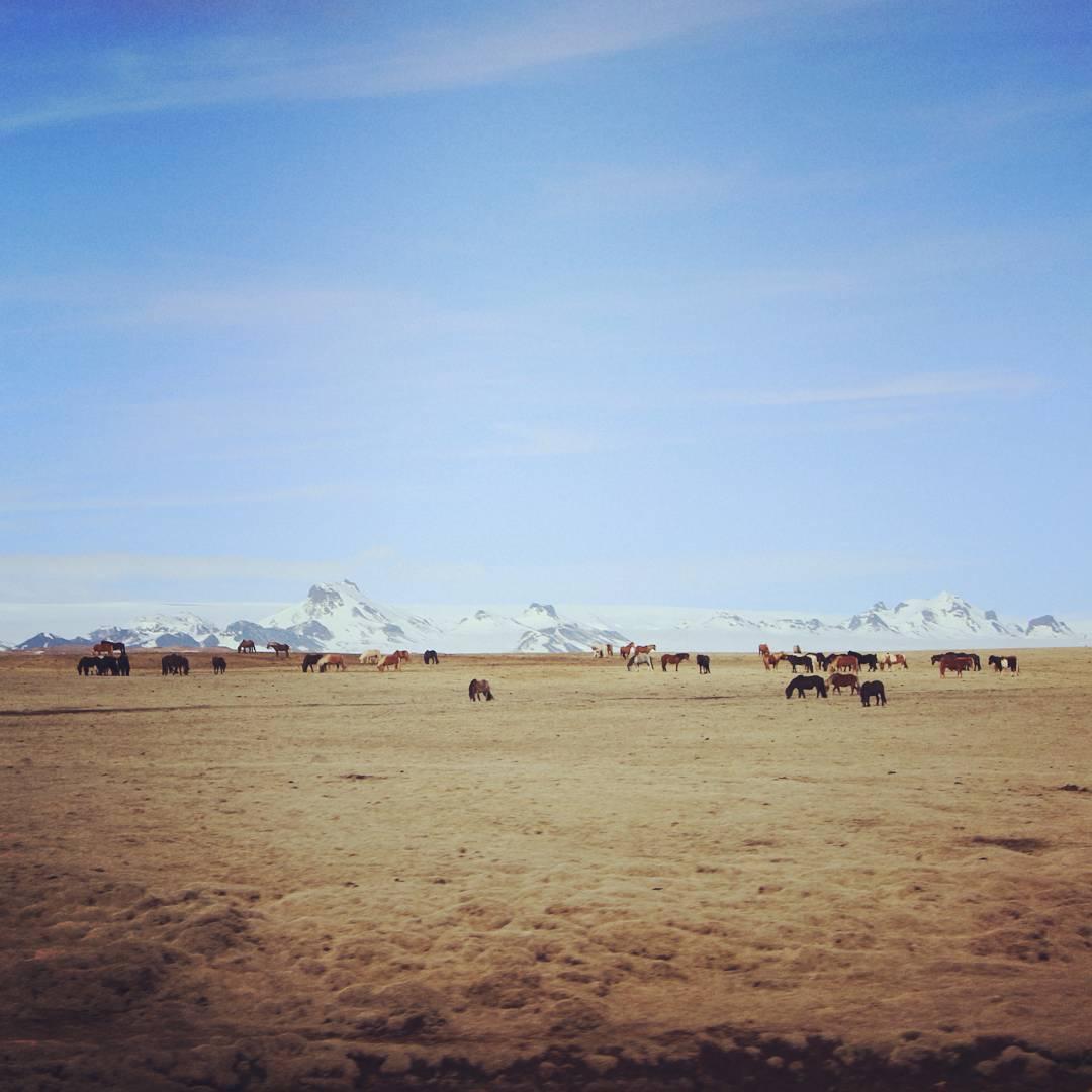 chevaux-islandais-paysage