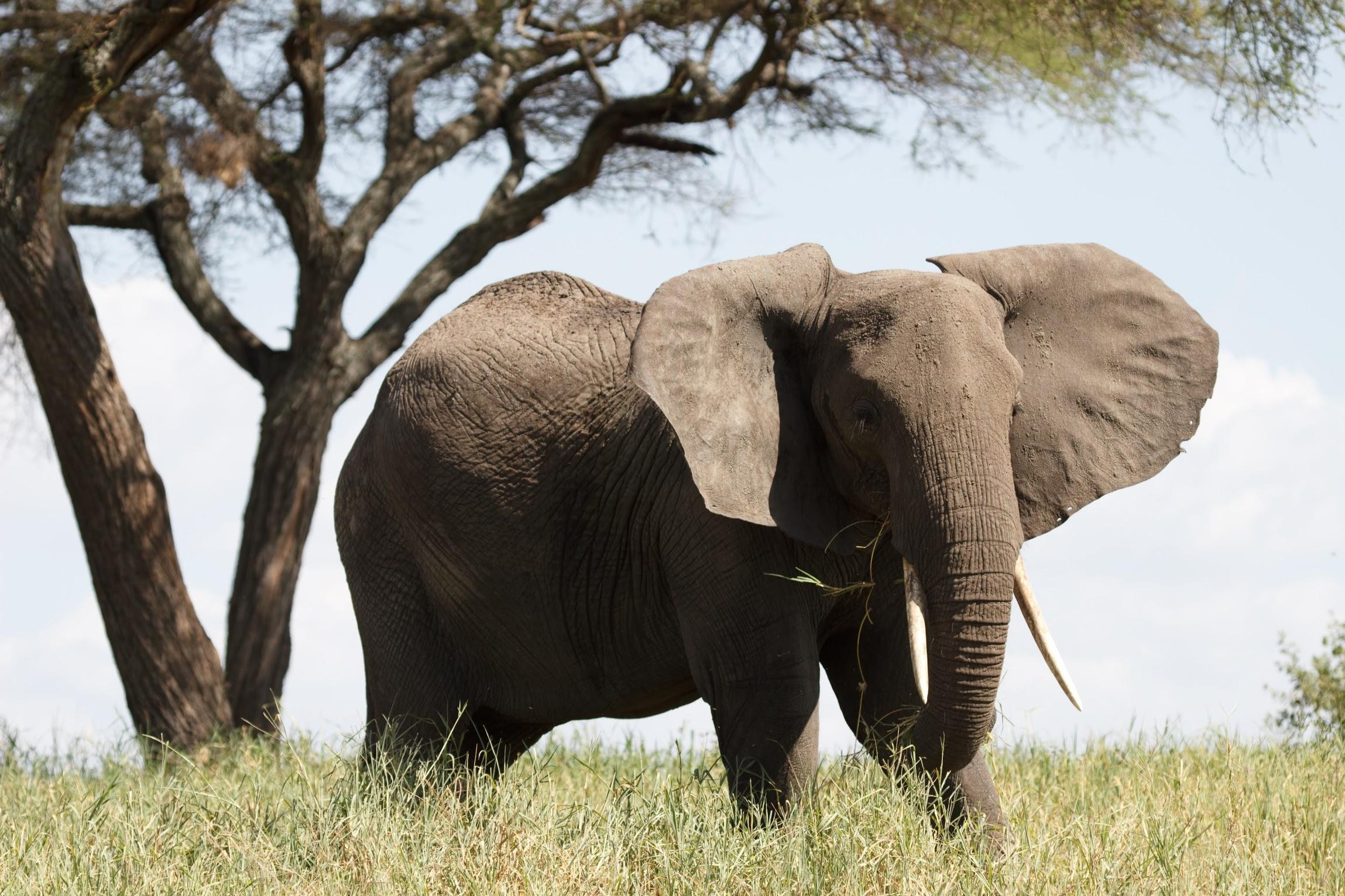 elephant-parc-tarangire-safari-tanzanie